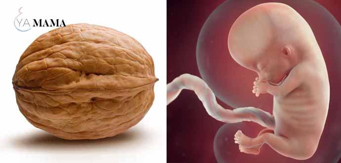 Малыш размером в орех на 10 неделе беременности